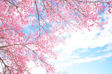 Fototapeta Do sypialni Wild Himalayan Cherry and blue sky in thailand