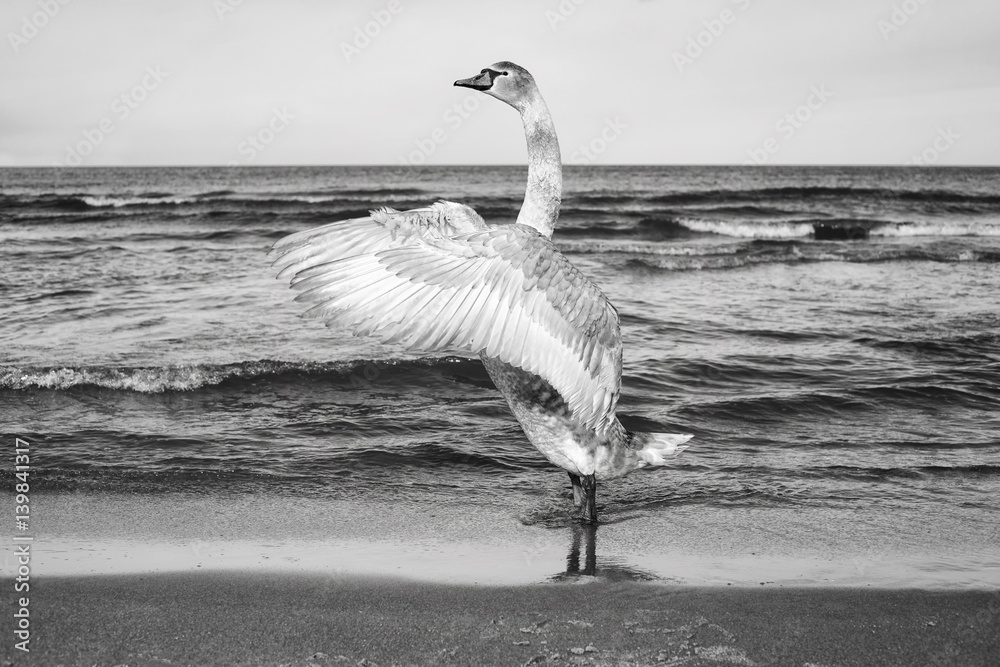 Fototapety, obrazy: Black and white picture of a mute swan stretches its wings on a beach.