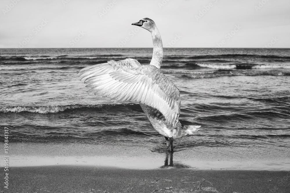 Fototapeta Czarno-białe zdjęcie łabędzia na plaży - obraz na płótnie