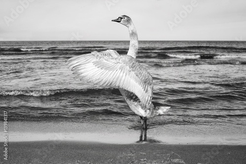 Fototapeta Black and white picture of a mute swan stretches its wings on a beach. obraz na płótnie