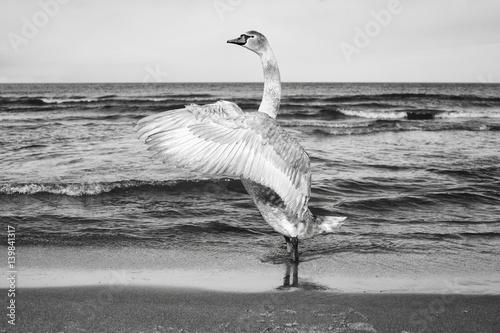 Obraz Czarno-białe zdjęcie łabędzia na plaży - fototapety do salonu