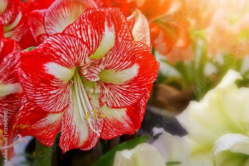 Photo Red amaryllis macro shot.