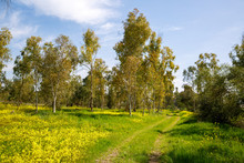 Dirt Road Through The Eucalyptus Grove