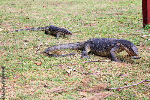 Poster Crocodile large and small Komodo dragon walking on green lawn Borneo