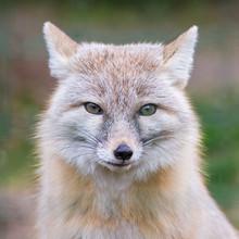 Corsac Fox, Steppe Fox, Head