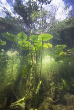 Beautiful Yellow Water Lily (nuphar Lutea) In The Clear Pound. Underwater Shot In The Lake. Nature Habitat.