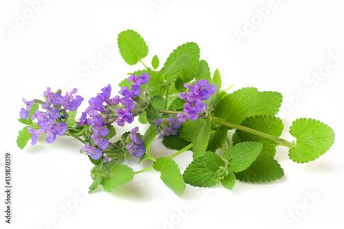 Echte Katzenminze - Nepeta cataria - Catnip Blüten und Blätter
