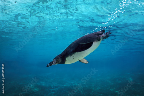 Tuinposter Pinguin Humboldt penguin diving underwater