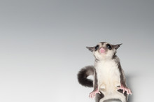 A Chubby Adorable Sugar Glider...