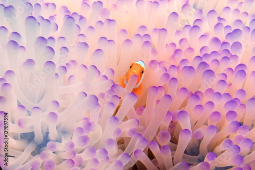 Fotografia pink baby clownfish in anemone