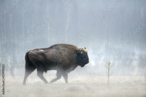 La pose en embrasure Bison animal