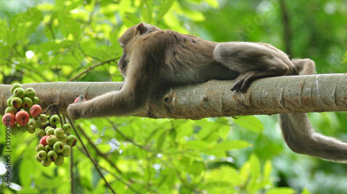 Photo  behaviors of monkey in the nature, wild macaques