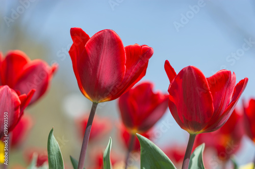 Amazing nature of red tulips under sunlight at the middle of summer or spring day landscape. Natural view of flower blooming in the garden on the blur background