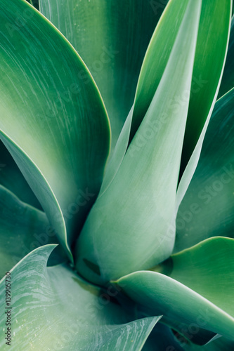 Photo sur Toile Les Textures Agave leaf texture background