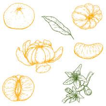 Set Of Vector Hand Drawn Mandarine. Whole, Sliced Pieces, Half, Leaf And Seed Sketch. Tropical Summer Fruit Engraved Vintage Style Illustration. Design Elements For Branding Package, Textile.