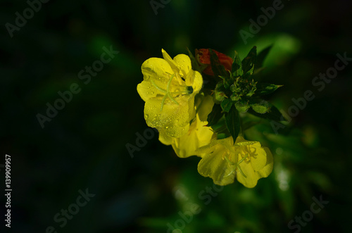 Yellow flowers with dew on dark background with copy space Canvas Print