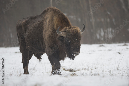 Aluminium Prints Bison wildlife