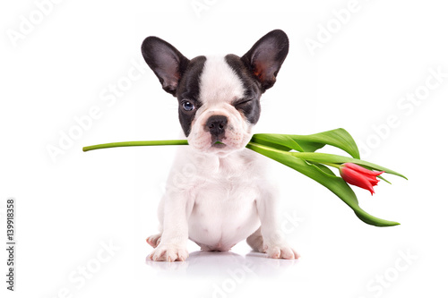 Photo  French bulldog puppy with tulip flower in muzzle
