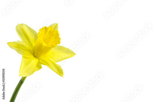 In de dag Narcis beautiful daffodil flower isolated on white background