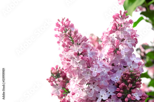 Foto op Canvas Lilac The branch of blossoming lilac