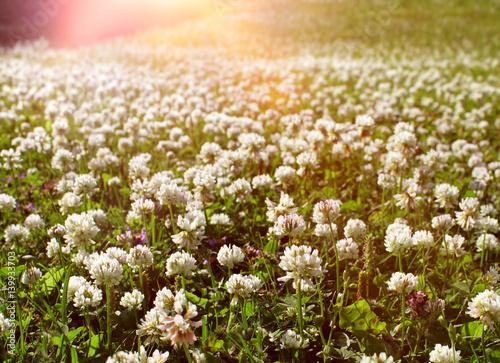 Foto auf Gartenposter Landschappen White clover field summer light