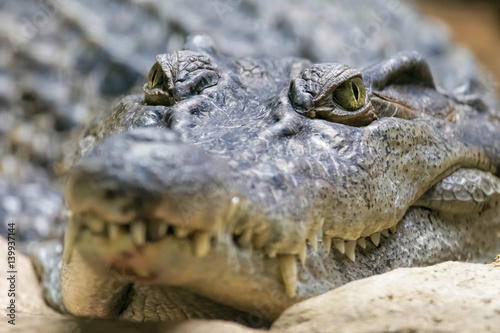 Philippine Crocodile Looking. (Crocodylus mindorensis)