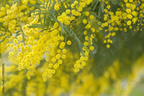 flowers of yellow mimosa Wallpaper Mural