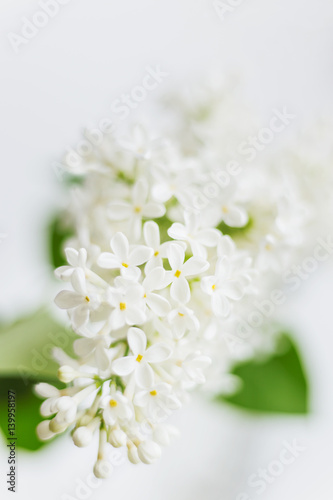 Poster Muguet de mai Lilac (Syringa) flowers on white background. Place for text. Soft focus.