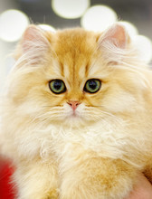 Very Young Red Fluffy Cat
