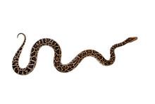 Burmese Python On White Backgr...