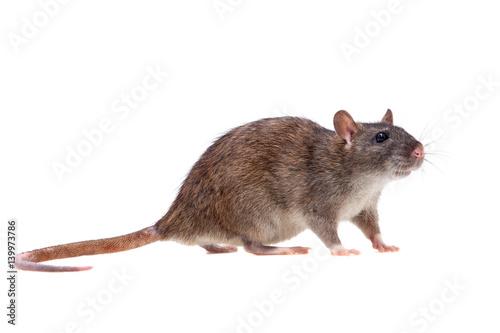 Photo  Common Rat on white