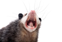 The Virginia Opossum, Didelphi...
