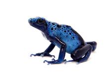 Blue Poison Dart Frog, Dendrob...