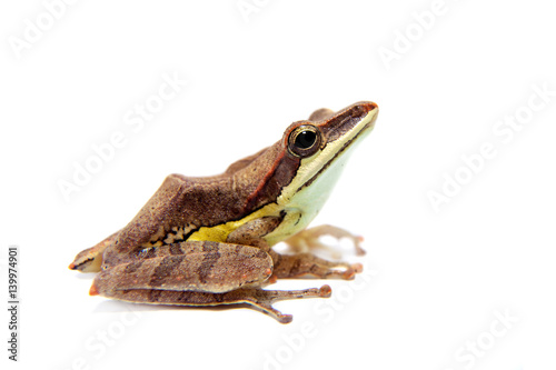 Fotografie, Obraz  Gunther's whipping frog, montane hour-glass tree-frog, Taruga eques on white