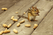 Chipmunk Eating Peanuts With Tongue Out On Wood Deck