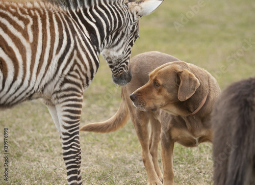 Photo  Zebra foal with dog encounter