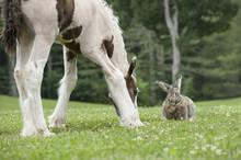 Flemish Giant Rabbit And Gypsy...