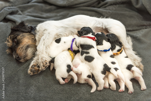 Foto  Newborn dogs baby - 8 day old - jack russell