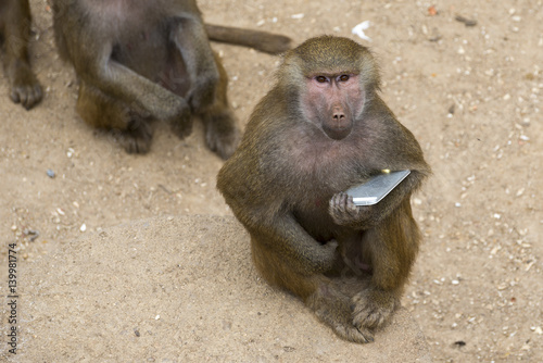 Fotografie, Obraz  Yellow baboon playing with a smartphone in a zoo