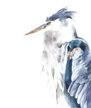 Blue Heron Bird Portrait Water...