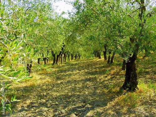 gaj-oliwny