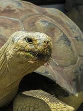 Close Up Of A Galapagos Tortoi...