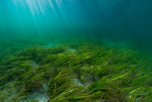 Eelgrass Bed