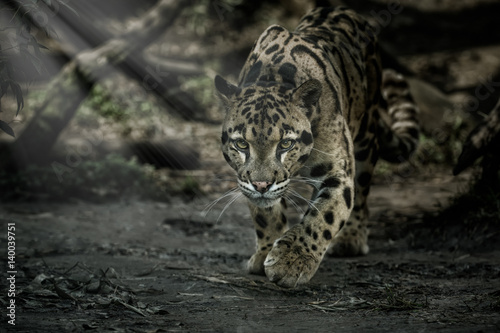Clouded leopard is walking towards from the shadows to the light/big cat male from a darkness/zoo in czech republic/neofelis nebulosa/vey rare creature