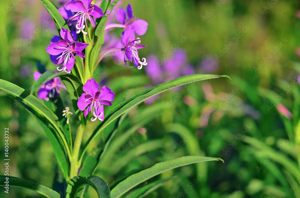Photo  Willow-herb (Epilobium angustifolium) blossom in a meadow