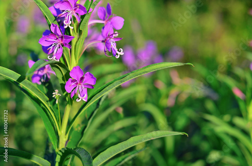 Foto  Willow-herb (Epilobium angustifolium) blossom in a meadow