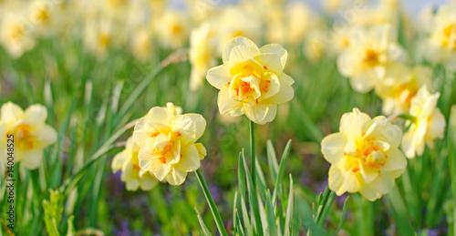 Fotografie, Obraz  Duft- und Blütenrausch: leuchtend gelbe Osterglocken :)