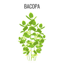 Bacopa Ayurvedic Aquatic Plant Isolated On White Background.