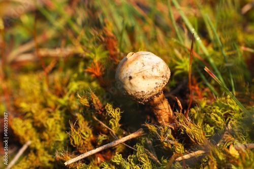 Fotografie, Obraz  Small puffball mushroom Tulostoma  commonly known as stalkballs