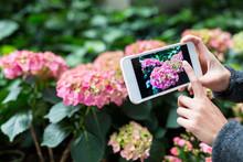 Woman Taking Photo On Hydrangea